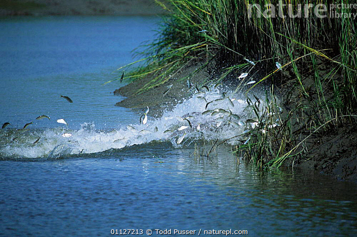 Fish chased into shore by Bottlenose dolphins strand feeding at salt marsh, SE USA  ,  NORTH AMERICA,SALT MARSHES,INTERESTING,SALTMARSHES,ATLANTIC,BEHAVIOUR,CETACEANS,COASTS,GROUPS,MAMMALS,USA,PREDATION,Dolphins, Mammals  ,  Todd Pusser