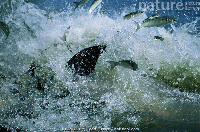 Fish chased into shore by Bottlenose dolphins strand feeding at salt marsh, SE USA  ,  PREDATION,INTERESTING,SALT MARSHES,COASTS,USA,MAMMALS,ATLANTIC,BEHAVIOUR,CETACEANS,GROUPS,SALTMARSHES,NORTH AMERICA,Dolphins, Mammals,Catalogue1,Marine  ,  Todd Pusser