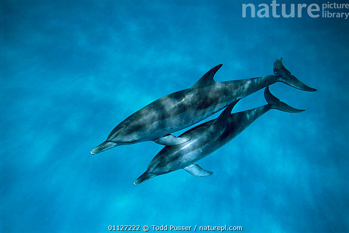 Pair of Atlantic spotted dolphins underwater {Stenella frontalis} Bahamas, Atlantic.  ,  MAMMALS,CETACEANS,PROFILE,TROPICAL,MARINE,Dolphins, Mammals,Catalogue1  ,  Todd Pusser