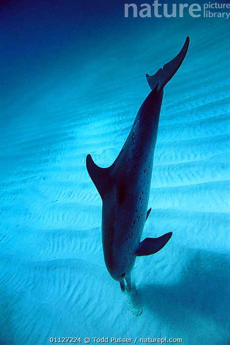 Atlantic spotted dolphin using echo-location to find fish in sand, Atlantic.  ,  VERTICAL,CETACEANS,ECHOLOCATION,MAMMALS,HUNTING,DOLPHINS,BEHAVIOUR,FEEDING,BAHAMAS,TROPICAL,MARINE,UNDERWATER, Mammals  ,  Todd Pusser
