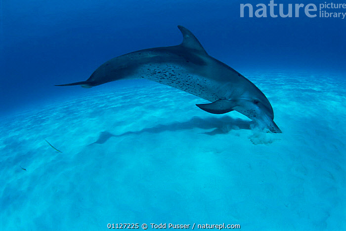 Atlantic spotted dolphin foraging for razor fish in seabed sand, Bahamas  ,  UNDERWATER,DOLPHINS,BEHAVIOUR,MARINE,CETACEANS,MAMMALS,FEEDING,TROPICAL, Mammals  ,  Todd Pusser