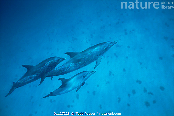 Three Atlantic spotted dolphins underwater {Stenella frontalis} Bahamas  ,  CETACEANS,GROUPS,MARINE,MAMMALS,Dolphins, Mammals  ,  Todd Pusser
