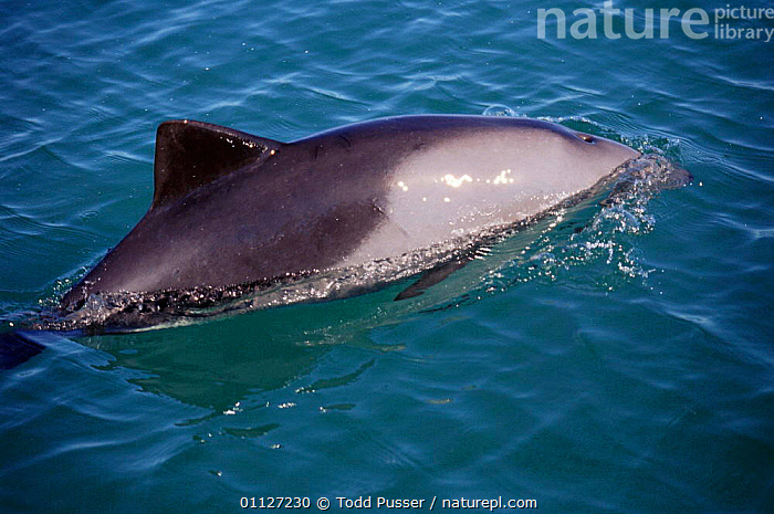 Heaviside's dolphin surfacing {Cephalorhynchus heavisidii} South Africa  ,  DOLPHINS,MAMMALS,MARINE,SOUTHERN AFRICA,CETACEANS,COASTAL WATERS,TEMPERATE,SURFACE,HEAVISIDE, Mammals  ,  Todd Pusser