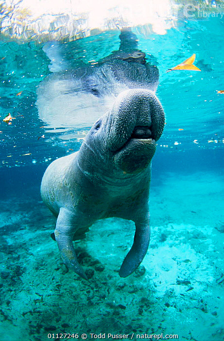 West indian manatee {Trichechus manatus} Crystal River, Florida, USA.  ,  NORTH AMERICA,USA,UNDERWATER,MANATEES,PORTRAITS,FRESHWATER,MOUTHS,VERTICAL,MAMMALS,Sirenia  ,  Todd Pusser