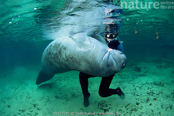 West indian manatee + snorkeler {Trichechus manatus} Crystal River, Florida, USA.  ,  FRESHWATER,MAMMALS,MANATEES,INTERACTION,USA,PEOPLE,UNDERWATER,NORTH AMERICA,Sirenia  ,  Todd Pusser