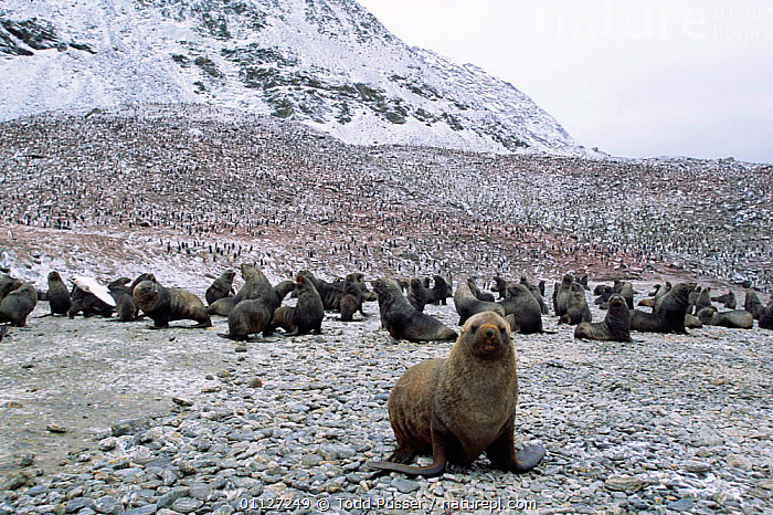 Male Antarctic fur seal + Chinstrap penguin colony, South Shetland Is, S Atlantic  ,  FLOCKS,ANTARCTICA,GROUPS,MAMMALS,LANDSCAPES,LAND,FLIGHTLESS,PINNIPEDS,MIXED SPECIES,GEORGIA  ,  Todd Pusser