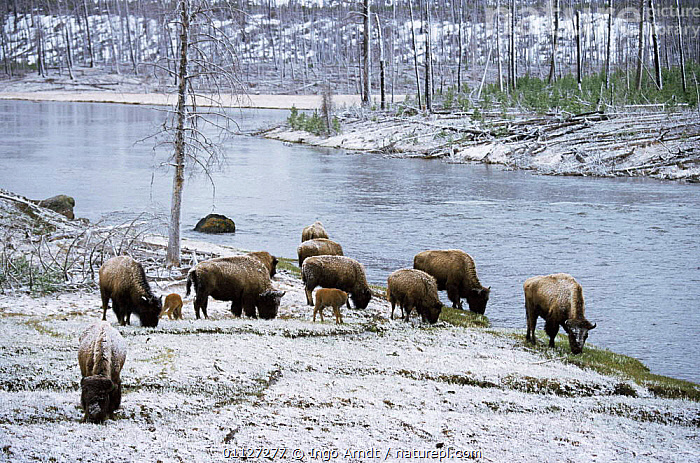 Bison herd {Bison bison} feeding in snow, Yellowstone NP, Wyoming, USA  ,  ARTIODACTYLA,BOVIDS,BUFFALOS,FAMILIES,FEEDING,GROUPS,MAMMALS,NORTH AMERICA,NP,RESERVE,SNOW,USA,VERTEBRATES,WINTER,National Park,Cattle  ,  Ingo Arndt