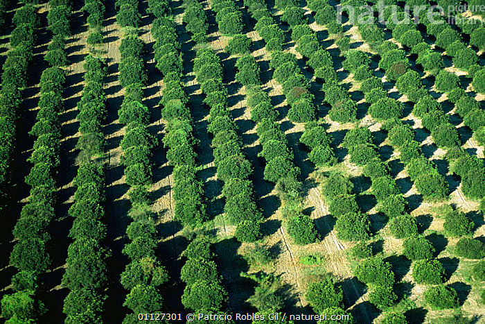 Aerial view of Orange plantation, Tamaulipas, Mexico  ,  AERIALS,AGRICULTURE,CENTRAL AMERICA,CROPS,EXPORT,FARMLAND,FRUIT,MEXICO,MONOCULTURE,ORANGE,ORCHARDS,PLANTATIONS,TRADE,TREES,TROPICAL,Plants,CENTRAL-AMERICA  ,  Patricio Robles Gil