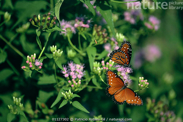 Tropic queen butterflies {Danaus eresimus} Tamaulipas, Mexico  ,  ARTHROPODS,BUTTERFLIES,CENTRAL AMERICA,FLOWERS,INSECTS,INVERTEBRATES,LEPIDOPTERA,MEXICO,TROPICAL,TWO  ,  Patricio Robles Gil