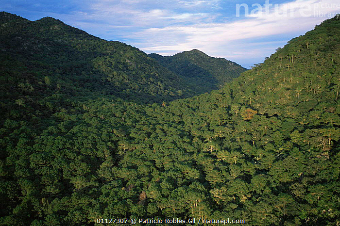 Aerial view of dry tropical forest, El Cielo biosphere reserve, Tamaulipas, Mexico  ,  AERIALS,BROADLEAF,CANOPY,CENTRAL AMERICA,HIGHLANDS,LANDSCAPES,MEXICO,MOUNTAINS,RESERVE,TROPICAL,TROPICAL DRY FOREST,VALLEYS,WOODLANDS,CENTRAL-AMERICA  ,  Patricio Robles Gil