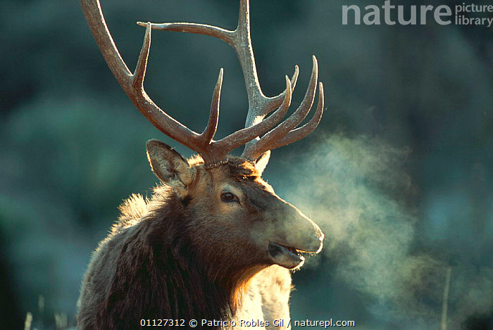 Elk / Red deer stag {Cervus elaphus} calling in early morning, Coahuila, Mexico  ,  ARTIODACTYLA,BREATH,CALLING,CENTRAL AMERICA,CERVIDS,COLD,DEER,FACES,HEADS,MALES,MAMMALS,MEXICO,PORTRAITS,RED,STAG,TROPICAL,VERTEBRATES,VOCALISATION  ,  Patricio Robles Gil