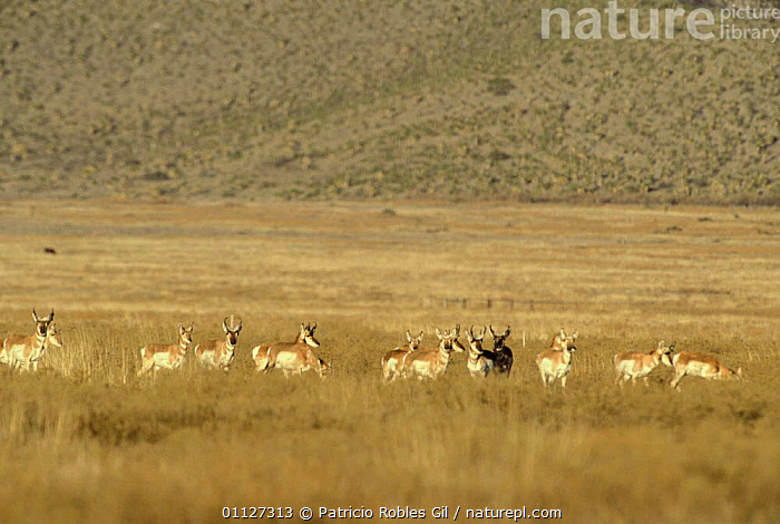 Herd of Pronghorn antelope, introduced species,   {Antilocapra americana} Coahuila, Mexico  ,  ANTELOPES,ARTIODACTYLA,BOVIDS,CENTRAL AMERICA,CONSERVATION,GRASSLAND,GROUPS,INTRODUCED SPECIES,LANDSCAPES,MAMMALS,MEXICO,NON NATIVE,VERTEBRATES  ,  Patricio Robles Gil