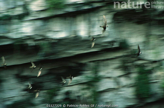 White collared swifts flying {Streptoprocne zonaris} Mexico  ,  ACTION,ARTY SHOTS,BIRDS,BLURRED,CENTRAL AMERICA,FLYING,GROUPS,MEXICO,SWIFTS  ,  Patricio Robles Gil