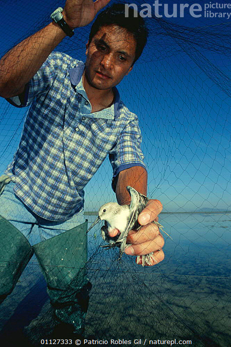 Man netting Sandpiper {Calidris sp} for research, Mexico  ,  BIRDS,CENTRAL AMERICA,COASTS,CONSERVATION,EDUCATION,MAN,MARINE,MEXICO,NETS,PEOPLE,PRIMATES,RESEARCH,STUDY,TRAPPING,VERTEBRATES,VERTICAL,WADERS,Mammals  ,  Patricio Robles Gil