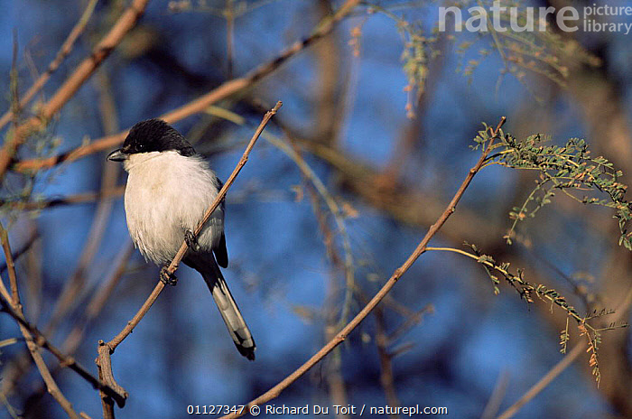 Fiscal shrike {Lanius collaris} Gauteng, South Africa  ,  SOUTHERN AFRICA,SHRIKES,BIRDS  ,  Richard Du Toit