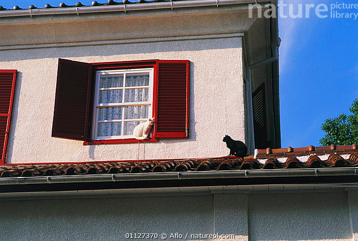Domestic cats on roof and window ledge {Felis catus} Japan  ,  TWO,URBAN,MAMMALS,PETS,CARNIVORES,BUILDINGS  ,  Aflo
