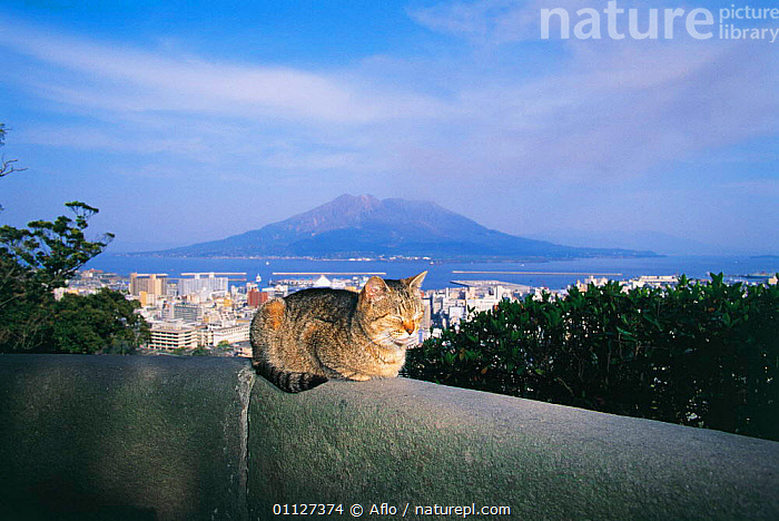 Domestic cat {Felis catus} sunning on ledge. Kagoshima, Japan  ,  TABBY,MAMMALS,MOUNTAINS,LANDSCAPES,PETS,CATS,CARNIVORES,Asia  ,  Aflo