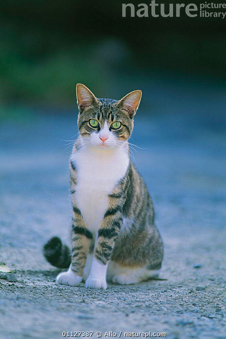 Domestic cat portrait {Felis catus} Japan  ,  CARNIVORES,CATS,SITTING,VERTICAL,PORTRAITS,PETS,MAMMALS  ,  Aflo
