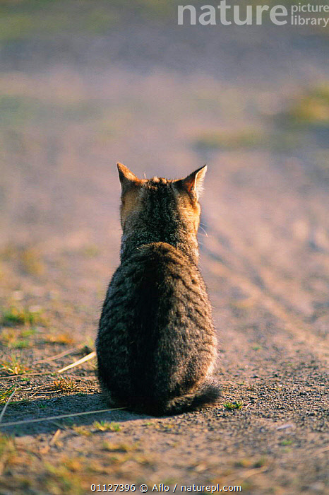 Rear view of sitting Domestic cat {Felis catus} Japan  ,  MAMMALS,PETS,VERTICAL,TABBY,CATS,CARNIVORES  ,  Aflo