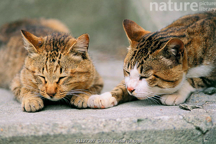 Two tabby Domestic cats {Felis catus} Japan  ,  CARNIVORES,SLEEPING,RESTING,PETS,MAMMALS  ,  Aflo