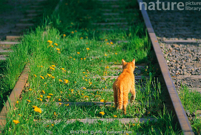 Ginger Domestic cat on disused railway line {Felis catus} Japan  ,  CARNIVORES,CATS,FLOWERS,PETS,RAILWAYS,MAMMALS,TRAINS  ,  Aflo
