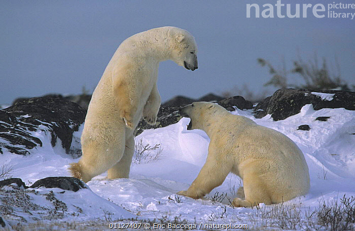 Two Polar bears play fighting{Ursus maritimus} Churchill, Manitoba, Canada, ARCTIC,BEARS,CARNIVORES,MAMMALS,NORTH AMERICA,SNOW,SNOWING,STORMS,WEATHER, Eric Baccega