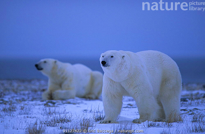 Two Polar bears on tundra{Ursus maritimus} Churchill, Manitoba, ARCTIC,BEHAVIOUR,CANADA,CARNIVORES,MAMMALS,NORTH AMERICA,SNOW,TUNDRA, Eric Baccega