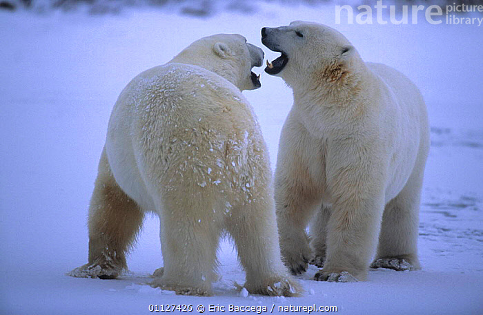 Two Polar bears play fighting {Ursus maritimus} Churchill, Manitoba, ARCTIC,BEHAVIOUR,CANADA,CARNIVORES,MAMMALS,NORTH AMERICA,SNOW,STANDING,TUNDRA, Eric Baccega