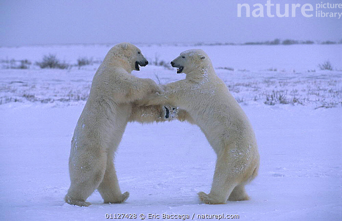 Two Polar bears play fighting {Ursus maritimus} Churchill, Manitoba, Canada, ARCTIC,BEHAVIOUR,CARNIVORES,MAMMALS,NORTH AMERICA,SNOW,TUNDRA, Eric Baccega