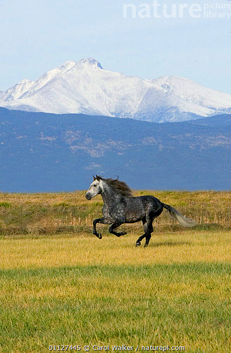 Grey Andalusian stallion cantering with Rocky mtns behind, Colorado, USA, HORSES,LANDSCAPES,MAMMALS,MOUNTAINS,MOVEMENT,NORTH AMERICA,PERISSODACTYLA,ROCKIES,RUNNING,USA,VERTICAL,Equines, Carol Walker