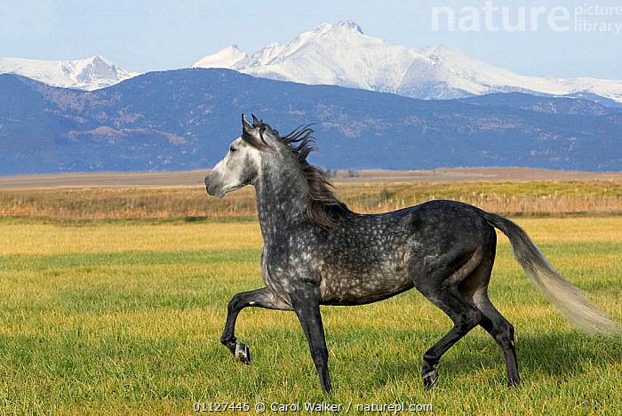 Grey Andalusian stallion trotting with Rocky Mountains behind, Colorado, USA, HORSES,LANDSCAPES,MALES,MAMMALS,MOVEMENT,NORTH AMERICA,PERISSODACTYLA,ROCKIES,RUNNING,USA,Equines, Carol Walker