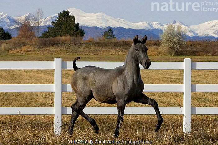 Young grey Andalusian horse trotting in corral with Rocky mtns behind, Colorado, USA, FEMALES,FENCE,FILLY,FOAL,HORSES,JUVENILE,LANDSCAPES,MAMMALS,MOUNTAINS,MOVEMENT,NORTH AMERICA,PERISSODACTYLA,ROCKIES,USA,Equines, Carol Walker