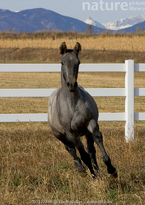 Young grey Andalusian horse cantering in corral, Colorado, USA., FEMALES,FENCE,FILLY,FOAL,HORSES,JUVENILE,LANDSCAPES,MAMMALS,MOUNTAINS,MOVEMENT,NORTH AMERICA,ROCKIES,ROCKY,RUNNING,USA,VERTICAL,Equines, Carol Walker