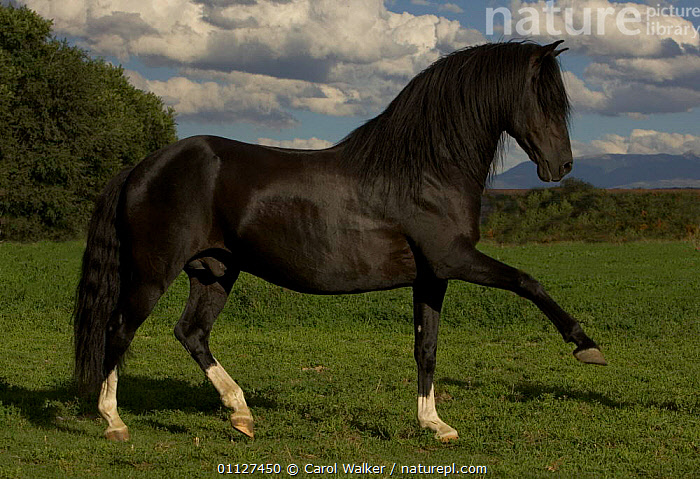 Black Peruvian Paso stallion doing spanish walk, Sante Fe, NM, USA, BREEDS,HORSES,MAGNIFICENT,MALES,MAMMALS,MOVEMENT,NORTH AMERICA,PORTRAITS,PROFILE,USA,WALKING,Equines, Carol Walker