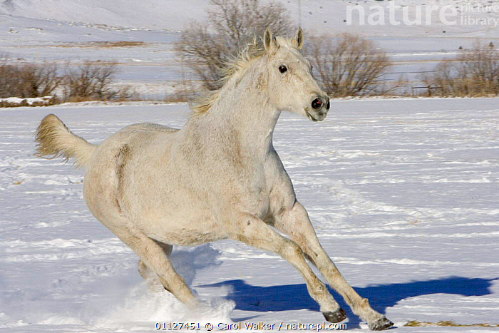 Grey thoroughbred horse cantering through snow, Colorado, USA., ACTION,GELDING,HORSES,JUVENILE,MALES,MAMMALS,MOVEMENT,NORTH AMERICA,PERISSODACTYLA,RUNNING,USA,WHITE,WINTER,Equines, Carol Walker