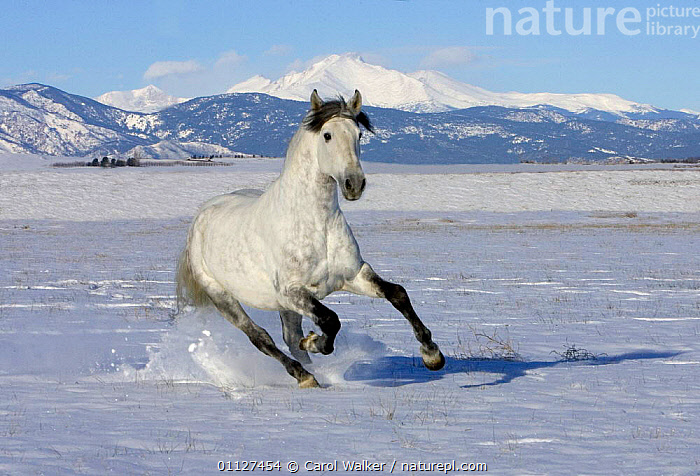 Grey Andalusian stallion cantering through snow, Colorado, USA., HORSES,MALES,MAMMALS,MOVEMENT,NORTH AMERICA,PERISSODACTYLA,RUNNING,USA,WHITE,WINTER,Equines, Carol Walker