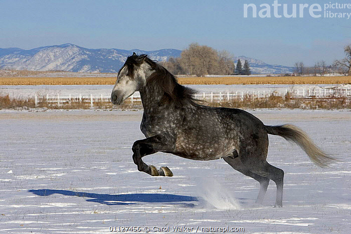 Grey Andalusian stallion leaping in snow, Colorado, USA., ACTION,HORSES,JUMPING,LANDSCAPES,MALES,MAMMALS,MOVEMENT,NORTH AMERICA,PERISSODACTYLA,USA,WINTER,Equines, Carol Walker