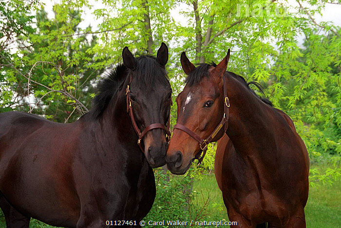 Two bay thoroughbred horses sniffing each other, Colorado, USA., COMMUNICATION,GELDING,INTERACTION,JUVENILE,MALES,MAMMALS,NORTH AMERICA,PERISSODACTYLA,USA,Equines, Carol Walker