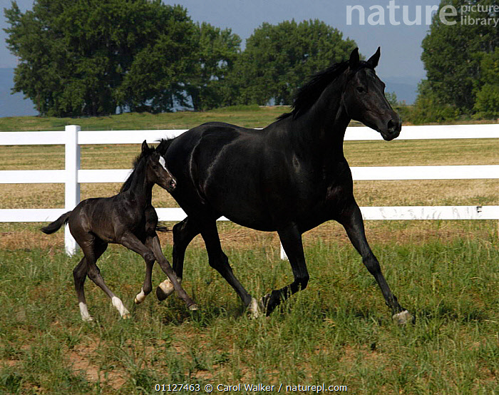 Black Hanovarian mare and foal running , Colorado, USA.  ,  BABIES,CANTERING,FAMILIES,HORSES,MAMMALS,MOTHER,MOVEMENT,NORTH AMERICA,USA,Equines  ,  Carol Walker