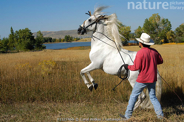 Handler training Grey Andalusian stallion to rear on back legs (levade) USA. Model released., COLORADO,GALLOPING,HORSES,LEVADE,MALES,MAMMALS,MOVEMENT,NORTH AMERICA,PEOPLE,PERFORM,PERISSODACTYLA,REARING,SCHOOLING,USA,Equines, Carol Walker