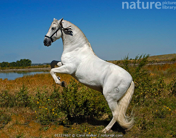 Grey Andalusian stallion performing a levade, USA - rearing on back legs  ,  HORSES,MALES,MAMMALS,MOVEMENT,NORTH AMERICA,PERISSODACTYLA,Equines  ,  Carol Walker