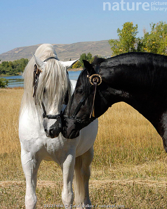 Black and Grey Andalusian stallions sniffing each other, Colorado, USA., BEHAVIOUR,COLOUR,COMMUNICATION,DIMORPHISM,HORSES,INTERACTION,MALES,MAMMALS,NORTH AMERICA,PERISSODACTYLA,STALLION,TWO,USA,Equines, Carol Walker