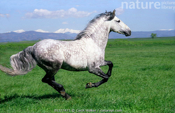 Grey Andalusian stallion cantering with Rocky mtns behind, Colorado, USA., ACTION,HORSES,LANDSCAPES,MALES,MAMMALS,MOUNTAINS,NORTH AMERICA,PERISSODACTYLA,PORTRAIT,PORTRAITS,PROFILE,ROCKIES,RUNNING,USA,Equines,Catalogue1, Carol Walker