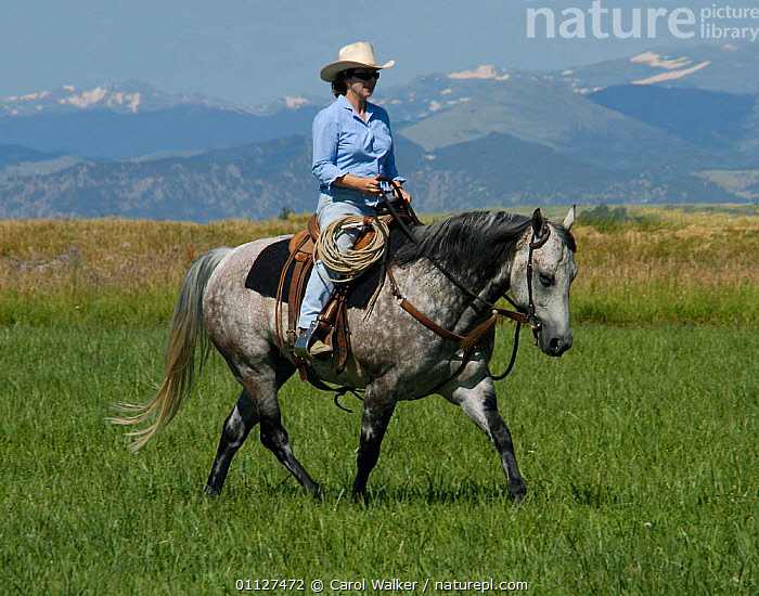 Woman riding Quarter horse, Colorado, USA. Model released., GREY,HORSES,LANDSCAPES,MAMMALS,MOUNTAINS,NORTH AMERICA,PEOPLE,PERISSODACTYLA,ROCKIES,ROCKY,USA,WORKING,WALKING,Equines, Carol Walker