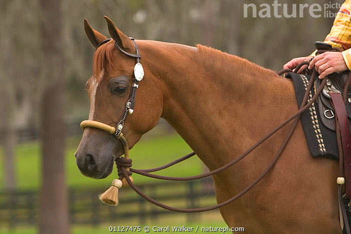 Arab horse being ridden, Florida, USA.  Model released., ARABIAN,HORSES,MAMMALS,NORTH AMERICA,PEOPLE,PERISSODACTYLA,RIDING,USA,WOMAN,Equines, Carol Walker