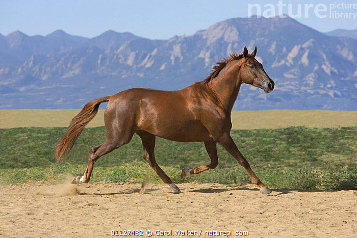 Oldenburg horse trotting, Colorado, USA., HORSES,MAMMALS,MOUNTAINS,MOVEMENT,NORTH AMERICA,PERISSODACTYLA,PROFILE,ROCKIES,ROCKY,RUNNING,USA,Equines, Carol Walker