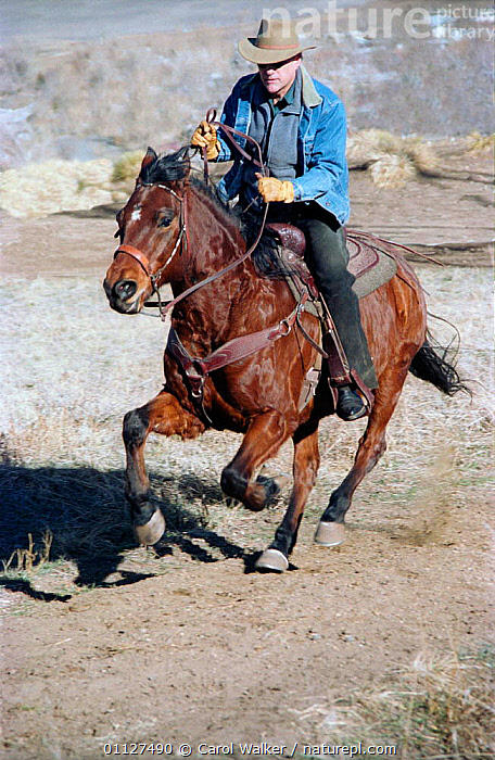 Man riding cantering Quarter horse, Colorado, USA. Model released., ACTION,HORSES,MAMMALS,NORTH AMERICA,PEOPLE,PERISSODACTYLA,RUNNING,SPEED,USA,VERTICAL,WORKING,Equines, Carol Walker