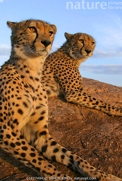 Toki and Sambu - hand reared male Cheetahs after rehabilitation to the wild., AFRICA,CARNIVORES,EAST,EAST AFRICA,KENYA,MAMMALS,RESERVE,TWO,VERTICAL,WILD, SIMON KING