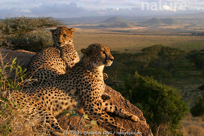 Two hand reared male Cheetahs after rehabilitation to the wild. Lewa WC, Kenya, East Africa, AFRICA,CARNIVORES,EAST AFRICA,LANDSCAPES,MAMMALS,RESERVE,SAMBU,TOKI,WILD, SIMON KING