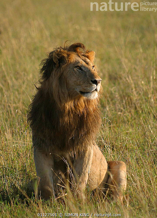 Male African lion sitting {Panthera leo} Masai Mara, Kenya, CARNIVORES,EAST AFRICA,MALES,MAMMALS,PORTRAITS,RESERVE,VERTICAL,Africa,Lions,Big Cats, SIMON KING